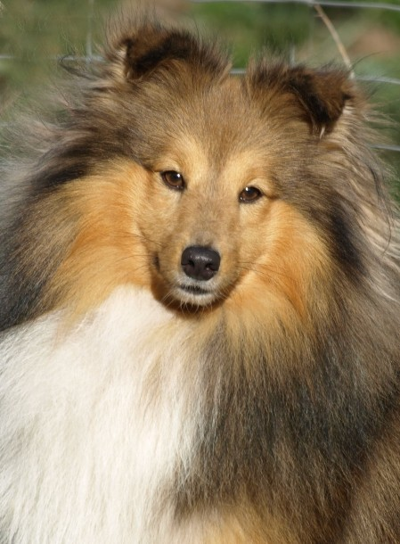 Sheltie Laurence